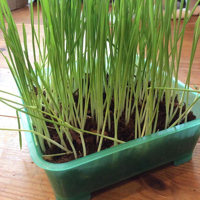 生後5ヶ月で初めての猫草。食べてみたお味はいかが?