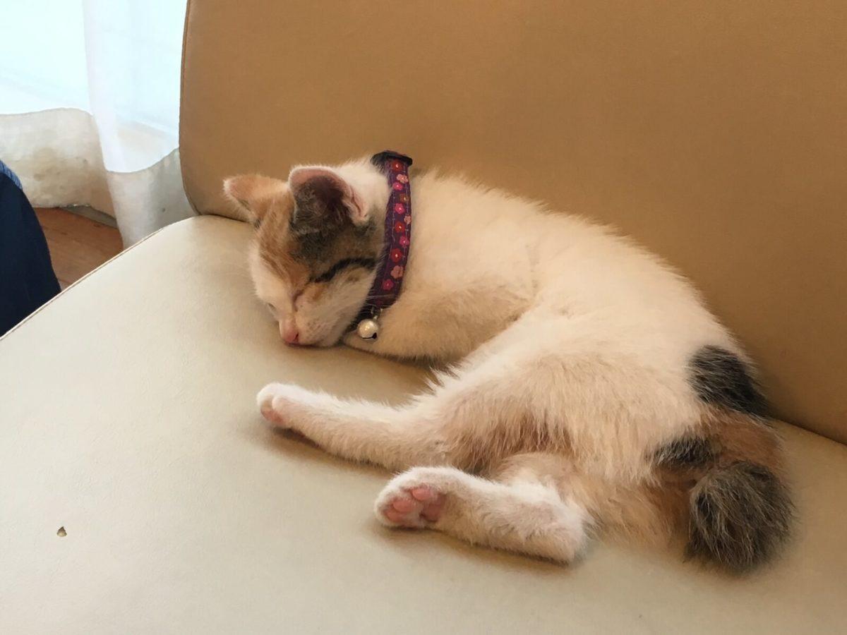 子猫って首輪を嫌がってしてくれないもの?