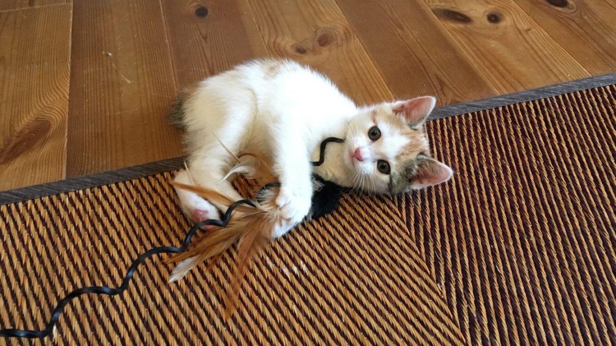 猫じゃらしで遊ぶ