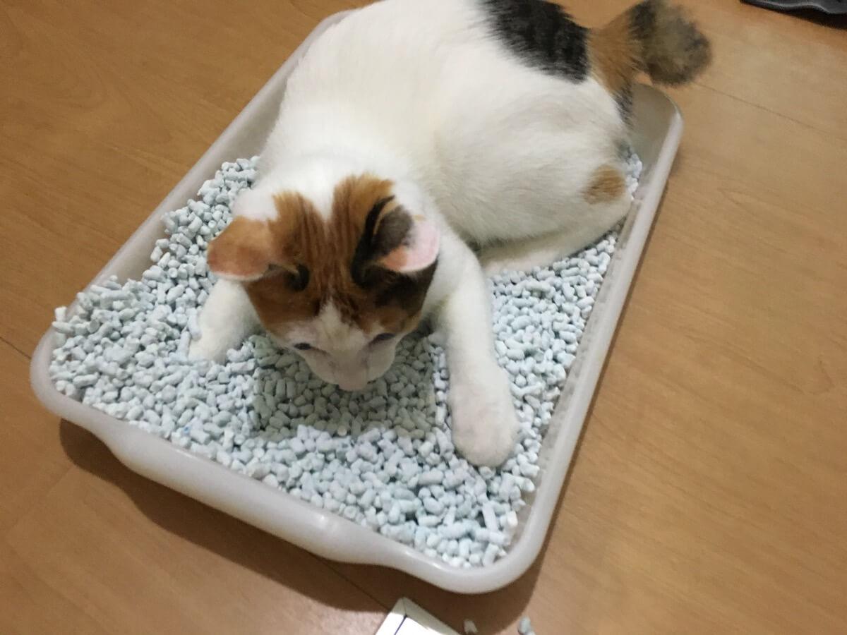 トイレの猫砂で遊ぶのが最近のブーム・・・?