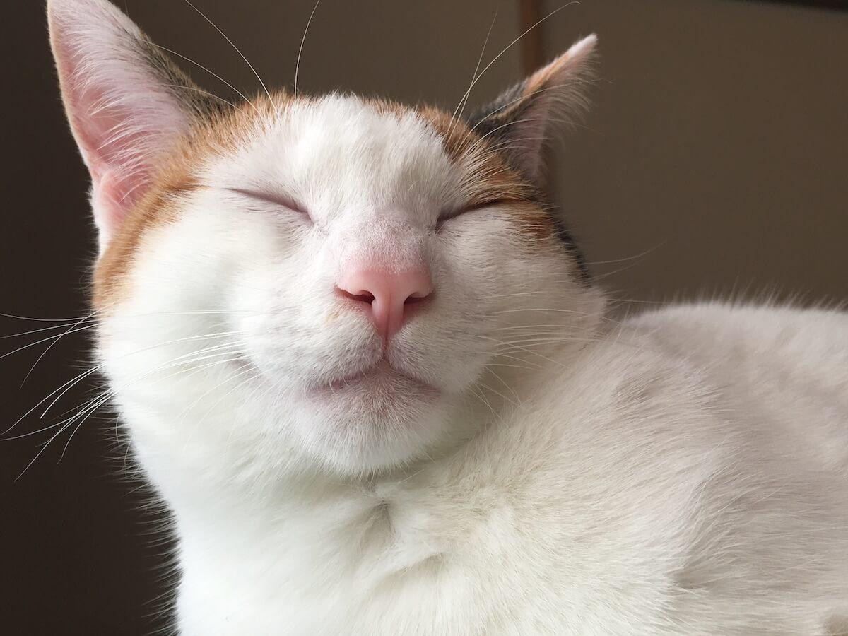 おもちみたいな猫