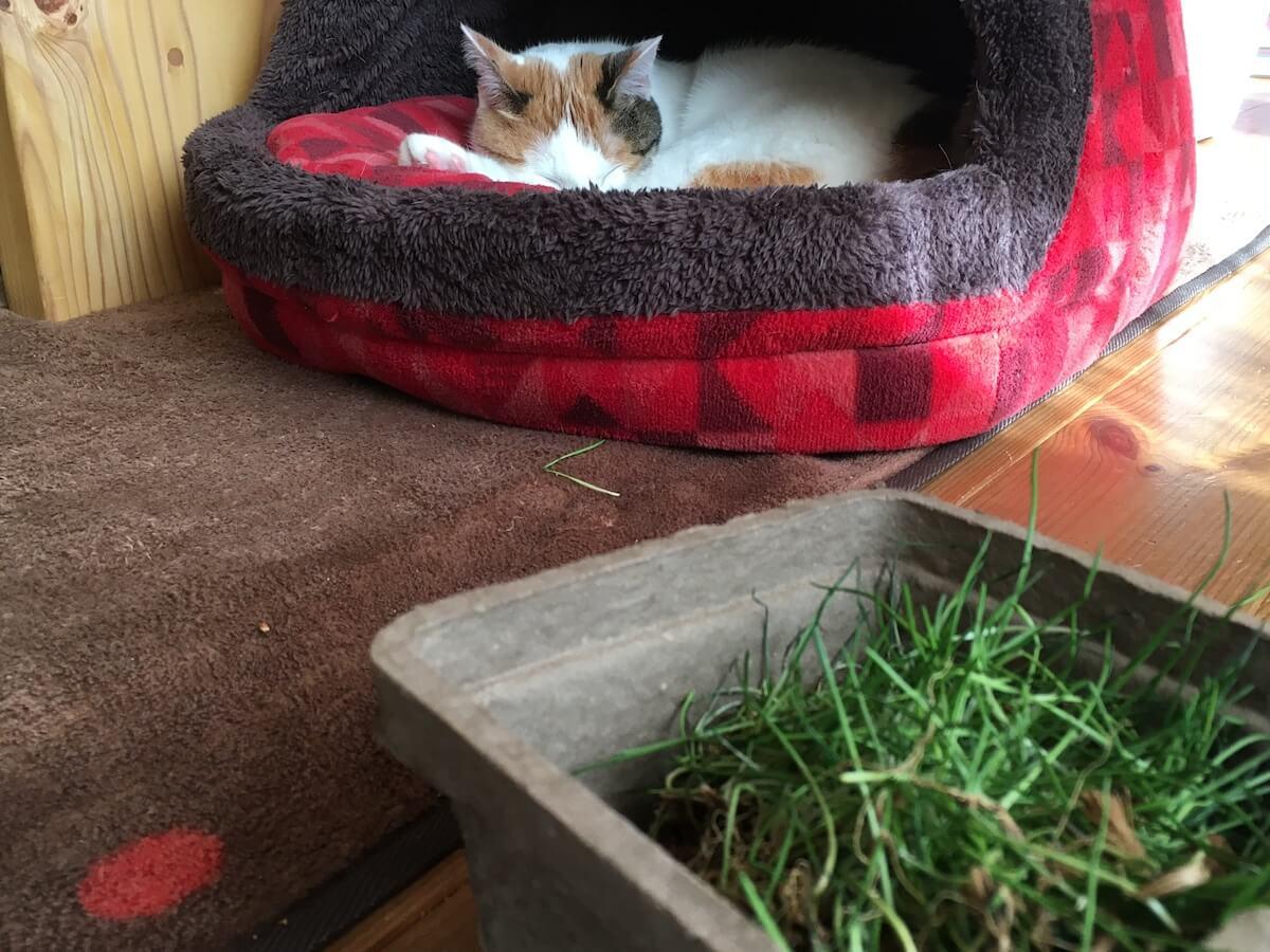 約半年ぶりの猫草を食べる