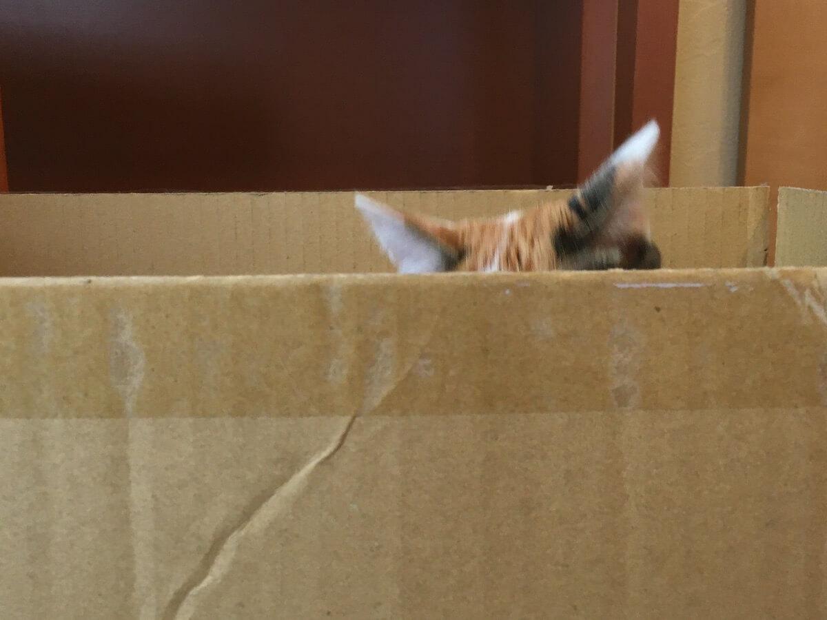 段ボール箱に入った猫