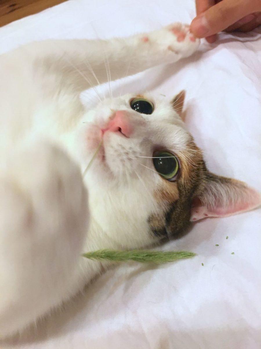 ねこじゃらしと遊ぶ猫