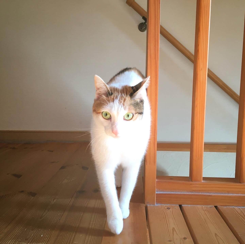 猫のモデルウォーク