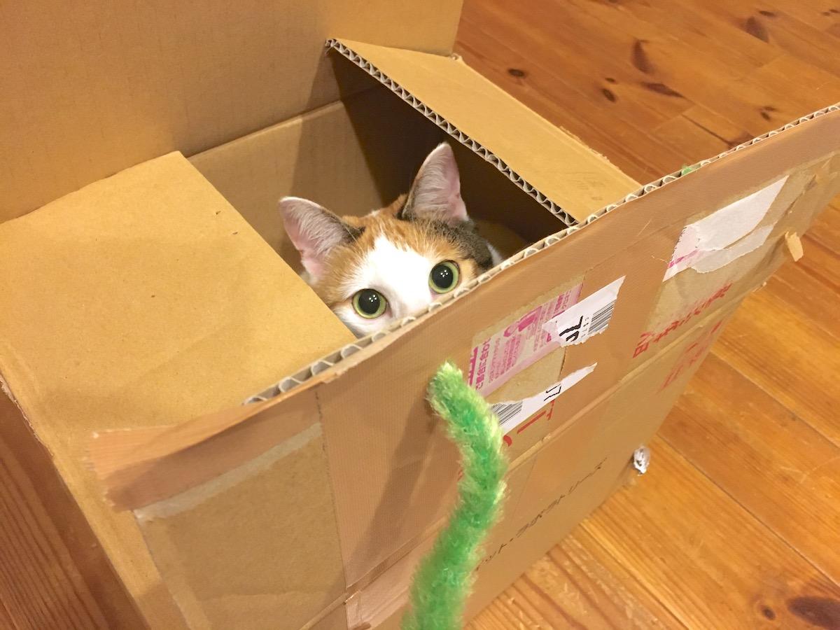 猫じゃらしと段ボール箱とよろずさん